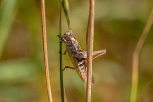 braune und rote Heuschrecke klammern sich zwischen zwei Grasstrohhalme foto
