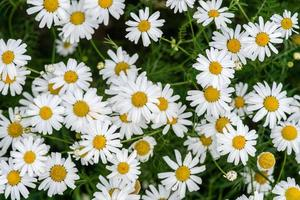 Gruppe von Gänseblümchenblumen foto