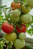 Gruppe von Tomaten, die auf einer Pflanze wachsen foto