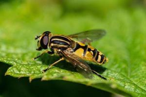 Nahaufnahme einer gelben und schwarzen Fliege foto