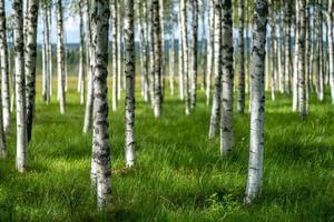 Sommeransicht von Birken mit grünem Gras foto