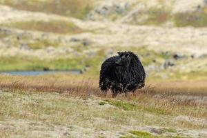 einzelne schwarze Schafe auf einem Feld foto