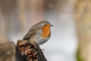 Nahaufnahme des roten Brustvogels im Frühjahr foto