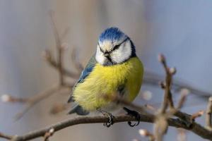 blauer und gelber Vogel auf Zweigen foto
