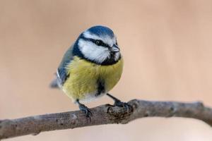blauer und gelber Meisenvogel, der auf einem Zweig sitzt foto