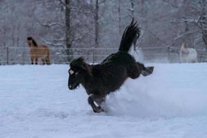 schwarzes isländisches Pferd ruckelt foto