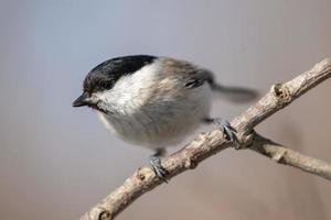 schwarzer, brauner und heller Vogel foto