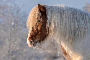 weißes und braunes Islandpferd foto