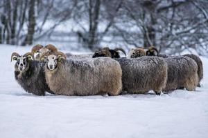 Gruppe von Schafen, die im Winter dicht beieinander stehen foto
