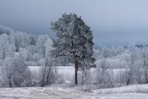 Kiefern in einem Birkenwald im Winter foto