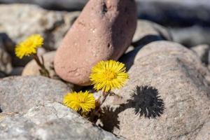Gänseblümchen und Felsen foto