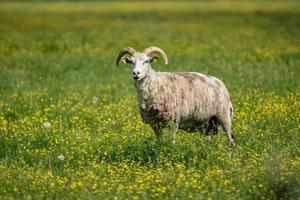 Schafe, die in einem grünen Feld stehen, das mit gelben Blumen gefüllt wird foto