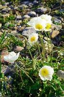 weiße Mohnblumen zwischen Felsen und Gras foto