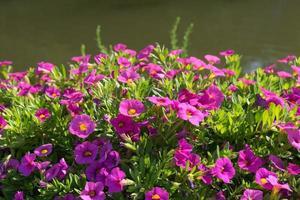 leuchtend rosa Blüten neben einem Teich oder See foto