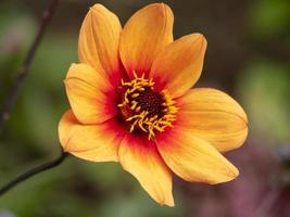 schöne orange einzelne Dahlienblume foto