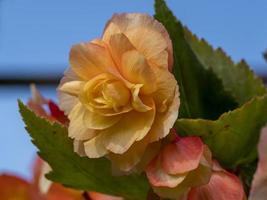 hübsche Pfirsichbegonie, die in einem Wintergarten blüht foto