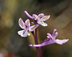 orchis anatolica - anatolische orchis, kreta foto