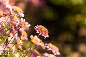 Nahaufnahme einer Gruppe von Chrysanthemen foto