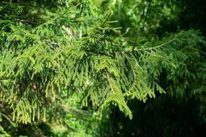 ein Ast eines grünen Nadelbaumes foto