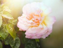 zarter Blumenhintergrund mit cremefarbener Rose foto
