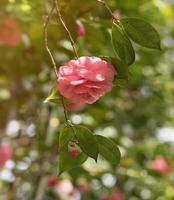 Kamelienblume auf unscharfem Hintergrund mit Bokehblättern foto