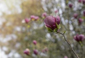 rosa Magnolienblüten im Frühlingsgarten foto