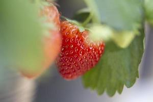 Nahaufnahme Erdbeeren im Garten foto
