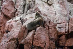 Seelöwe auf den Klippen der Ballestas-Insel foto