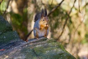Nahaufnahme eines Eichhörnchens beim Essen foto