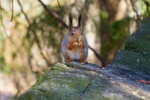 Eichhörnchen isst eine Nuss foto