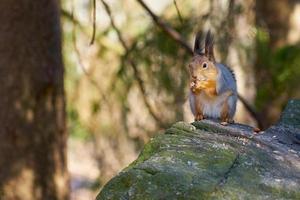 Eichhörnchen sitzt auf einem Stein und isst eine Nuss foto