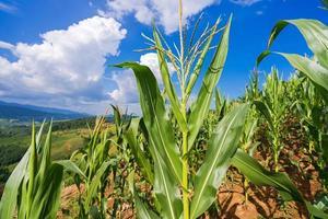 Maisfelder unter dem blauen Himmel foto