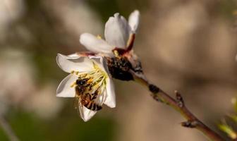 Biene auf einer Mandelblüte foto