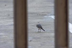 weißer Bachstelzenvogel foto