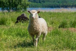 weiße Schafe, die in einem üppigen grünen Feld im Sonnenlicht stehen foto