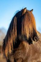 braunes Islandpferd mit der langen Mähne, die im Sonnenlicht glüht foto