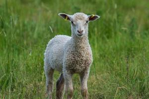 süßes weißes Lamm, das in einer grünen Weide steht foto