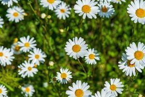 Gruppe von Margueritblüten in hellem Sonnenlicht foto