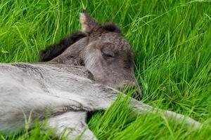 isländisches Fohlen, das im grünen Gras liegt foto