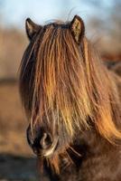 Islandpferd mit mähnenbedeckenden Augen foto