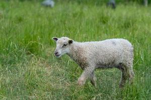 junges weißes Lamm, das in einer grünen Weide steht foto