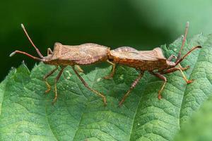 Detailaufnahme von zwei Stichwanzen, die sich auf einem Blatt paaren foto