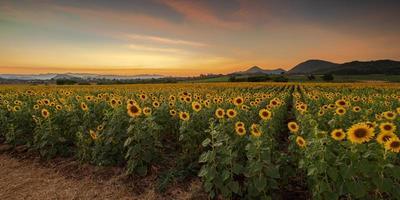blühende Sonnenblumenpflanzen auf dem Land bei Sonnenuntergang foto