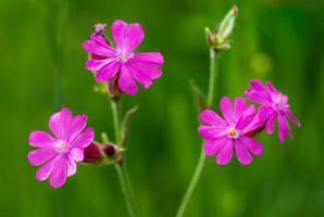 lila Blumen vor einem grünen Hintergrund foto