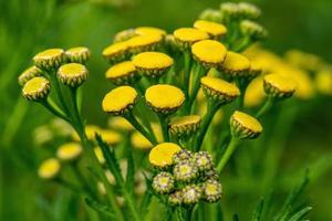 Nahaufnahme einer Gruppe von gelben Rainfarnblumen foto