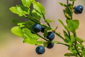 Blaubeeren wachsen auf einem grünen Zweig foto