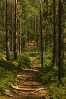 Weg durch einen schönen Kiefern- und Tannenwald foto