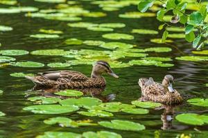 weibliche Stockenten, die zwischen Seerosenblättern schwimmen foto
