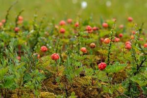 rote Moosbeeren wachsen im Moos foto