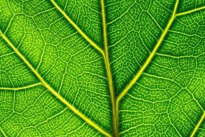 Detail eines grünen Blattes foto